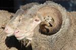 Sheep in Paddock
